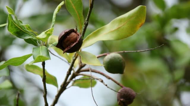 CU Macadamia nuts fruit to tree branch and macadamia nuts shaking by wind / Hilo, Big Island,Hawaii, United States