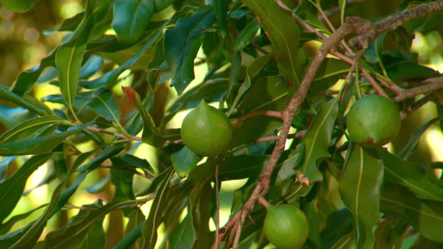 vidéos et rushes de macadamia plantation farm - extra close-up of a macadamia nuts on a tree coming into focus, a branch gently moving in the breeze / various shots of... - arbre tropical