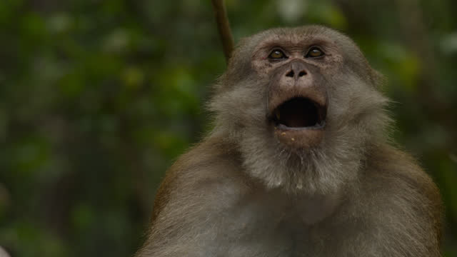 macaque chewing, thailand. - animal head stock videos & royalty-free footage