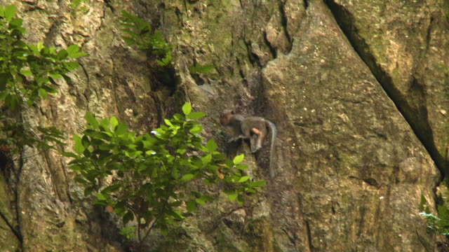 Macaque Monkey Climbing Rock Wall