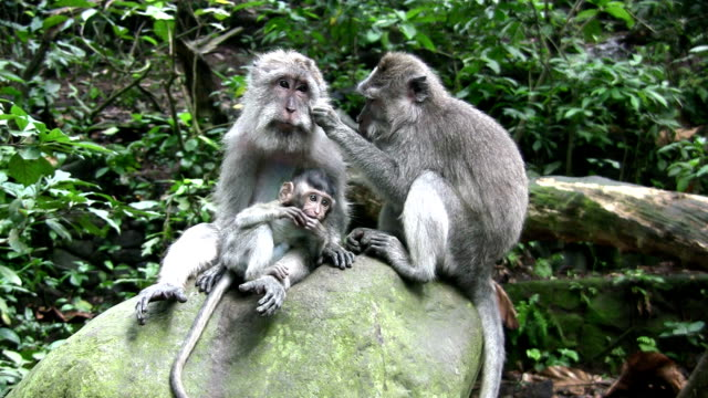 macaque monkey family grooming, ubud, bali, indonesia - love emotion stock videos and b-roll footage