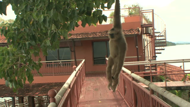 ms macaque monkey hanging from tree branch / sihanoukville, cambodia - hanging stock videos & royalty-free footage