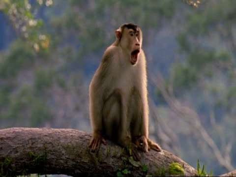 ms macaque monkey on branch facing camera, yawns, looks around, then stands and walks along branch, malaysia - macaque stock videos & royalty-free footage