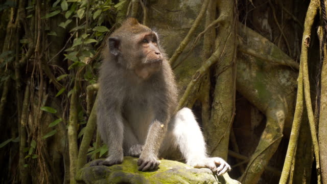 macaque monkey sitting in a tree - shy stock videos & royalty-free footage