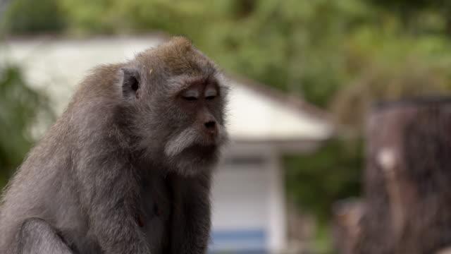 LS ZO Macaque singe