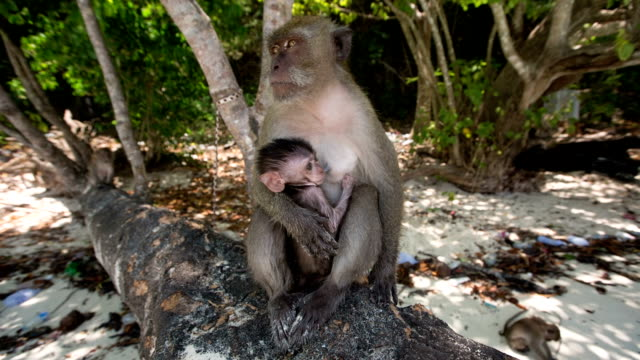 macaque monkey - phi phi islands stock videos & royalty-free footage