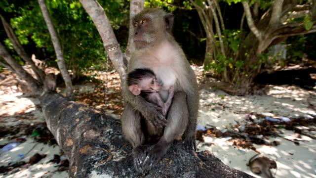 makake monkey - neuweltaffen und hundsaffen stock-videos und b-roll-filmmaterial