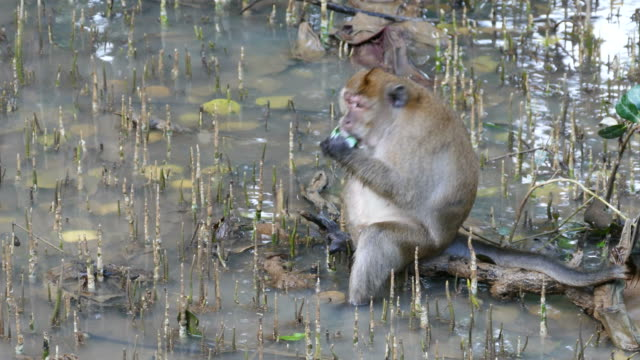 macaque monkey - mangrove forest stock videos & royalty-free footage