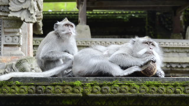 ms macaque monkeys grooming in pura dalem agung temple in monkey forest / ubud, bali, indonesia - bali stock videos & royalty-free footage