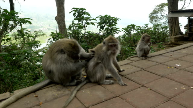 ls macaque monkeys mating - reproduction stock videos and b-roll footage