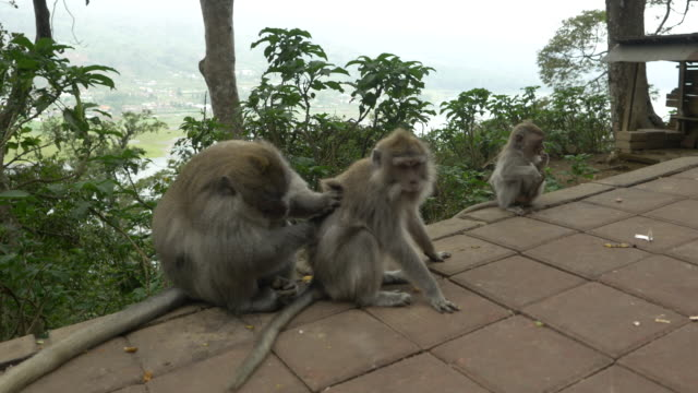 LS Macaque Monkeys Mating