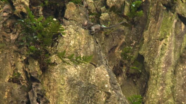 Macaque Monkeys on Rock Wall