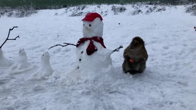 macaque monkeys play in the snow and steal carrots from the snowmen, at blair drummond safari park in stirling, scotland. - macaque stock videos & royalty-free footage