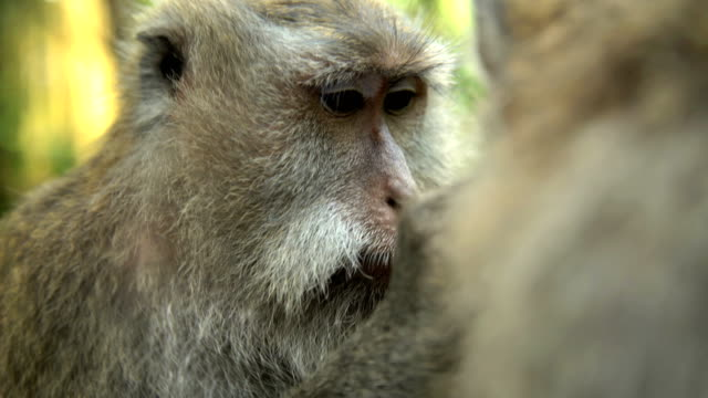 macaque primate grooming in ubud monkey sanctuary bali - primate stock videos and b-roll footage