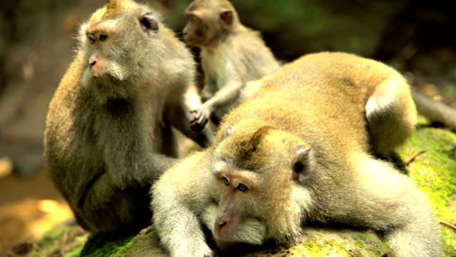 macaque primate group with baby nature reserve bali - 動物園点の映像素材/bロール