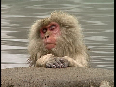 vídeos de stock, filmes e b-roll de mcu macaque relaxing in water - vadear