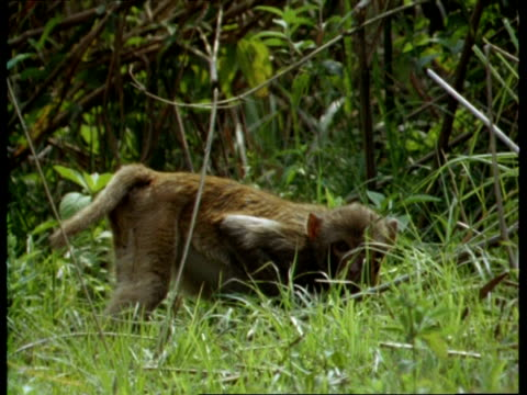 mcu macaque (macaca) standing alert in grass, crouching down, india - hiding stock videos & royalty-free footage