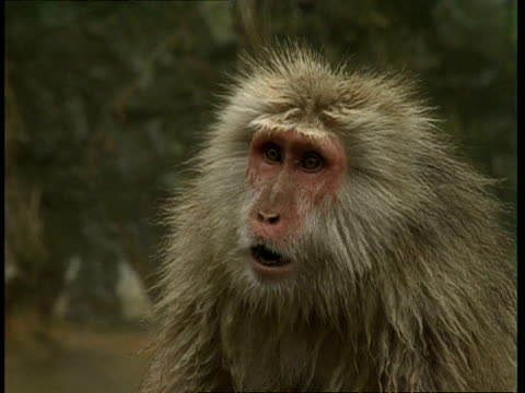 cu macaque staring in surprise - schockiert stock-videos und b-roll-filmmaterial