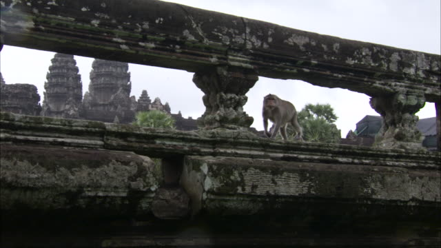 macaque walks along wall, angkor wat. - inquadratura fissa video stock e b–roll