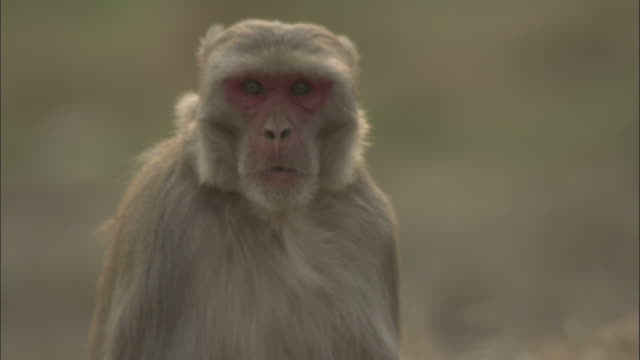 Macaque walks towards camera, India Available in HD.