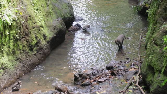 Macaques Playing in a Stream
