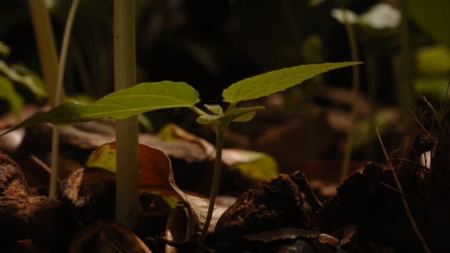 a macaranga seedling sprouts from a forest floor. available in hd. - bbc stock videos & royalty-free footage