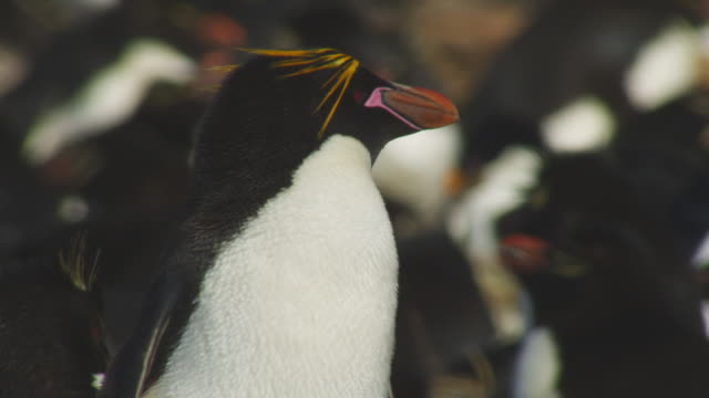 CU Macaroni Penguin looking around