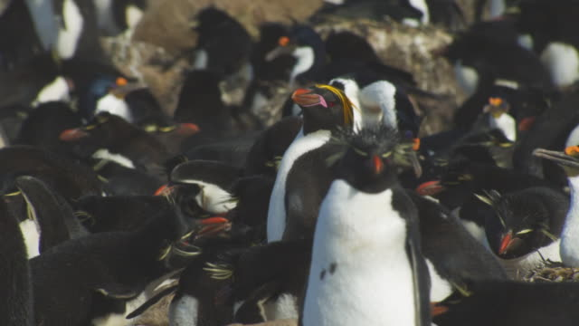 MS Macaroni Penguin standing in middle of Rockhopper Penguin colony