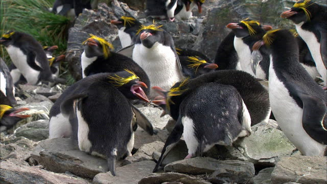 macaroni penguins squabbling - aggression stock videos & royalty-free footage