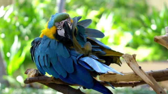 Ara-blau und gelb Papagei Reinigung Federn auf dem Zweig in 4K