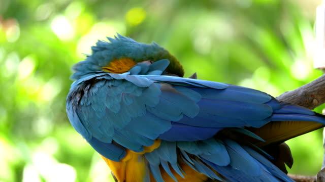 Ara blauen und gelben Papagei schlafen auf dem Zweig in 4K