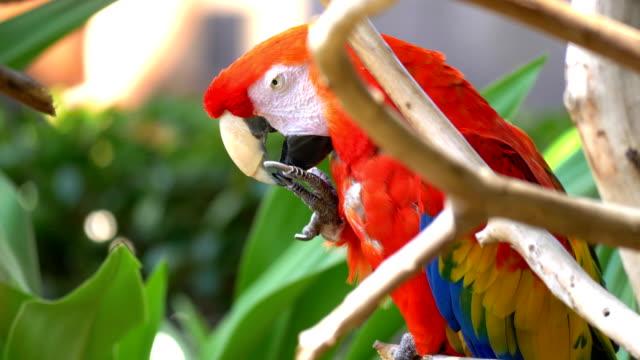 Ara Blue Golded papegoja i 4K Slow motion