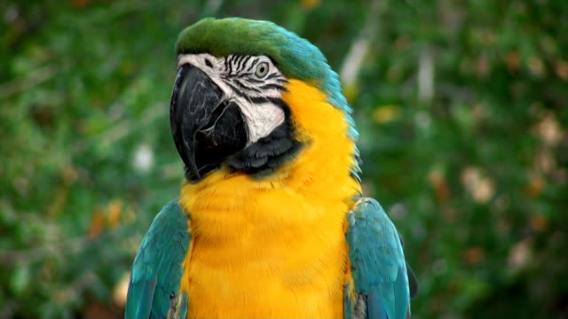 macaw blue golded - amazonas state brazil stock videos and b-roll footage