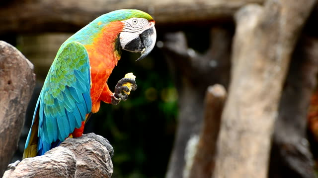macaw eats corn - parrot stock videos & royalty-free footage