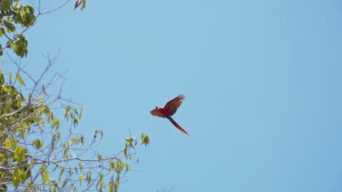 ara slo mo che vola su un albero - bird video stock e b–roll