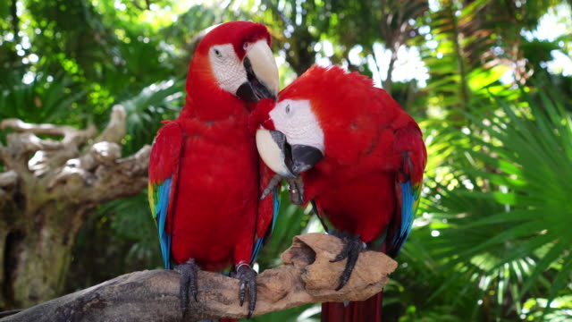 Macaw parrot couple cleaning each other