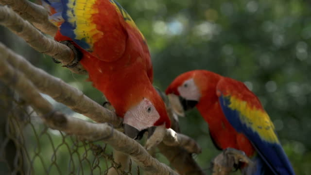 Macaw parrots from branch to branch