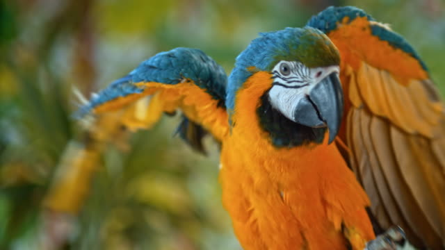 macaw touching its beak with its foot and walking up a branch - branch stock videos & royalty-free footage