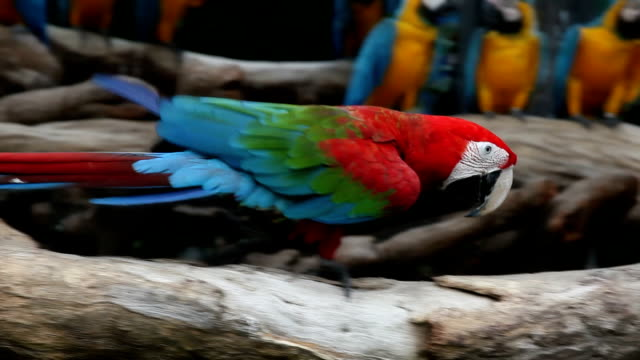 macaw walking