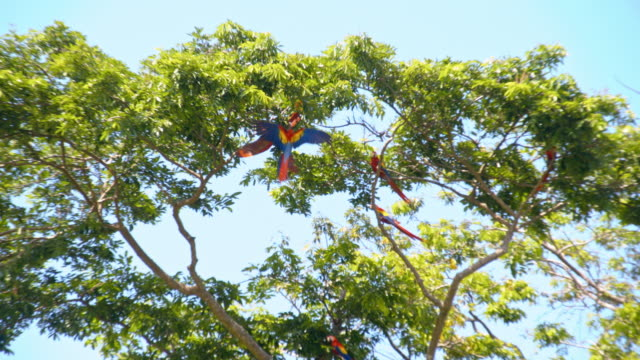 LS Macaws mating on a tree
