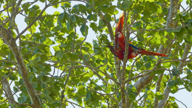 ls macaws mating on a tree - macaw stock videos & royalty-free footage