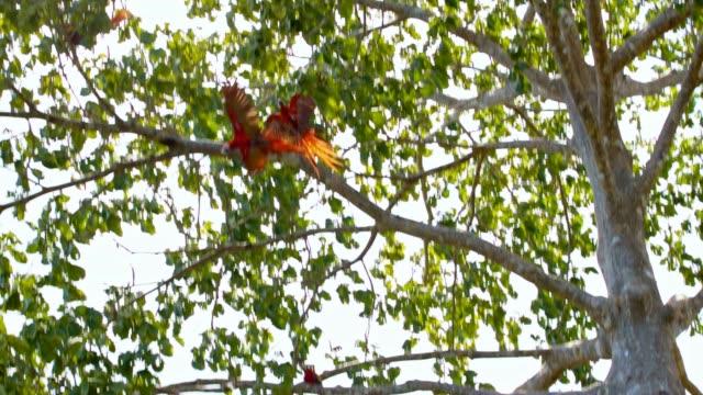 vídeos de stock, filmes e b-roll de esteiras de slo mo araras em uma árvore - low angle view