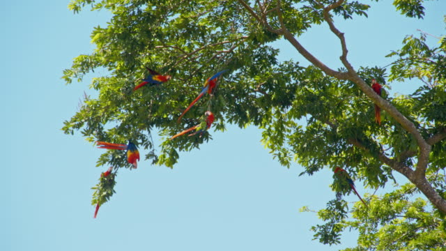 LS Macaws on a tree