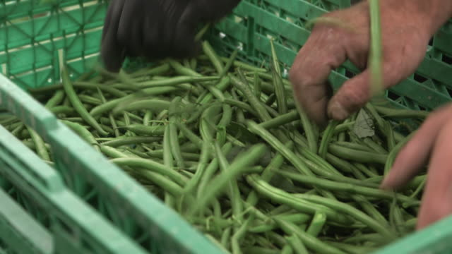 machinery harvests green beans on farm, uk - グリーンビーンズ点の映像素材/bロール