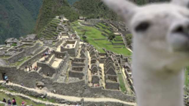 Machu Picchu with Llama focus change and zoom from Llama to background