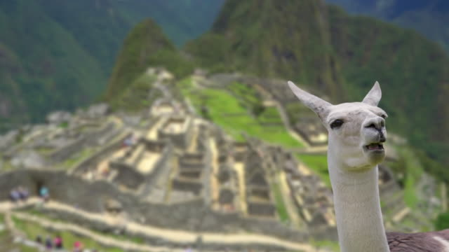 stockvideo's en b-roll-footage met machu picchu met llama focus verandert van lama in achtergrond - international landmark