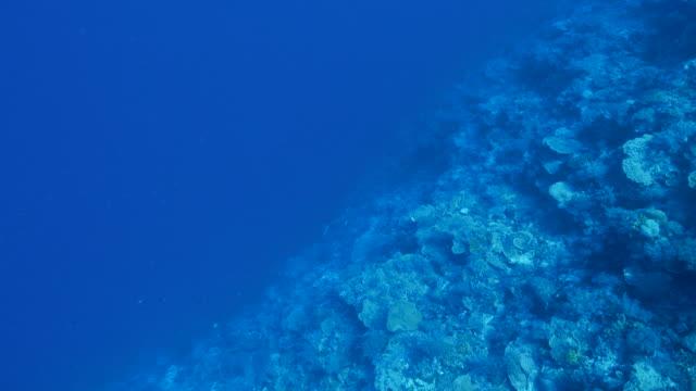 Makreel vissen zwemmen door koraalrif
