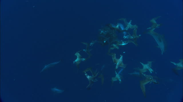 mackerel scad (decapterus macarellus) swirl in bait ball as spotted dolphins (stenella frontalis) and cory's shearwaters (calonectris diomedea) attack, azores, atlantic ocean - spotted dolphin stock videos and b-roll footage