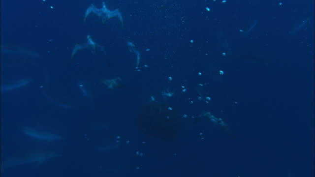 vidéos et rushes de mackerel scad (decapterus macarellus) swirl in bait ball as spotted dolphins (stenella frontalis) and cory's shearwaters (calonectris diomedea) attack, azores, atlantic ocean - dauphin tacheté