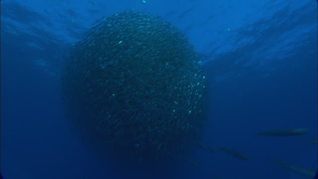 mackerel scad (decapterus macarellus) swirl in shimmering bait ball, azores, atlantic ocean - atlantic ocean stock videos & royalty-free footage